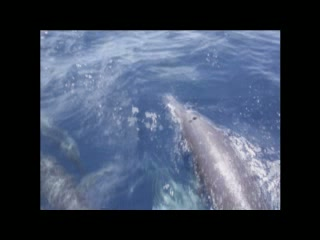 An Amazing Day with the Costa Rica Spinner Dolphins