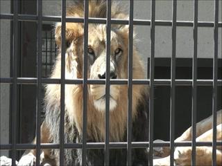 โคโมโระ , ญี่ปุ่น: 懐古園のライオン