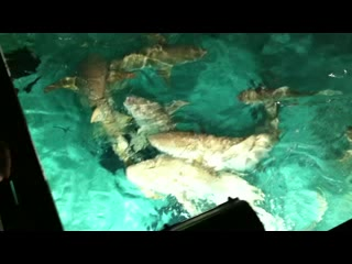 Sun Island Resort: Shark feeding
