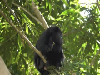 Black Orchid Resort: Howler Monkeys