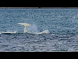 Arctic Watch Lodge : Discover the Beluga Whales at Arctic Watch Wilderness Lodge