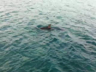 George Town, Gran Exuma: Dolphin right off pier at Augusta Bay Exuma Bahamas