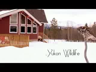 The French Elegance in the Yukon Wilderness