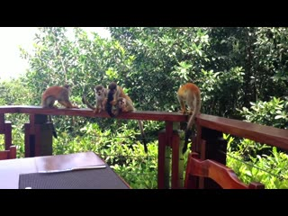 Tulemar Bungalows & Villas: Titi Monkey Video