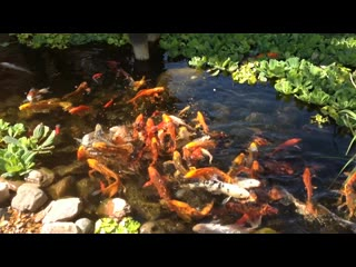 Stoney Creek Hotel & Conference Center  - Columbia: Love the goldfish pond!