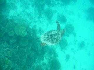 Six Senses Laamu: House reef turtle