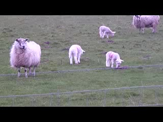 lambs at Hunterston, North Ayrshire, Scotland UK