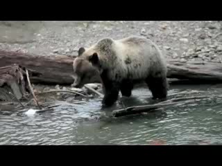 Grizzly Bear-Viewing at Grizzly Bear Ranch