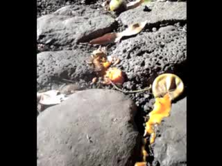 Banana Bungalow Maui Hostel: flies on mango, zoomed-in