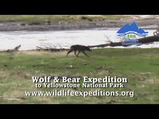 Wildlife Expeditions of Teton Science Schools : Wolf and Bear Expedition