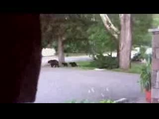 The Inn at Thorn Hill & Spa : Mamma Bear and her 4 cubs at Thorn Hill Jackson NH