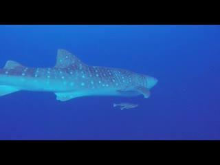 Hatchet Caye Resort: Hatchet Caye Belize Dive Tour with Whale Sharks!