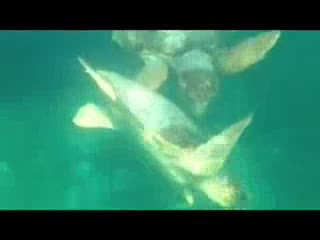 Placencia, Belize: Sea Turtle Ballet at Hatchet Caye ResortBelize