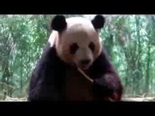 جوانجتشو, الصين: A Panda muching