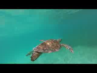 Isla de Vieques, Puerto Rico: Swimming with Sea Turtles