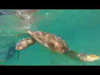 Isla de Vieques, Puerto Rico: Sea Turtles