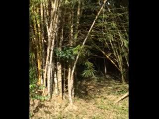 Punta Gorda, Belize : Bamboo Grove at Front Entrance