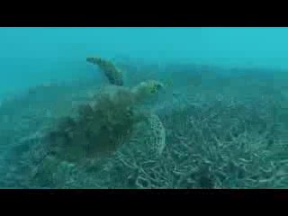 Agnes Water, Australia: VIDEO !! Swimming with a green turtle