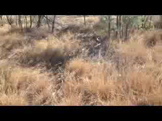 Video of Goanna after it crossed the road.