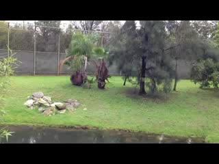 Dubbo, Australia: Amazing Bengal Tiger 'growling'.