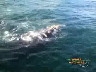 Whale Watchers Hermanus: Whale Watching in Hermanus