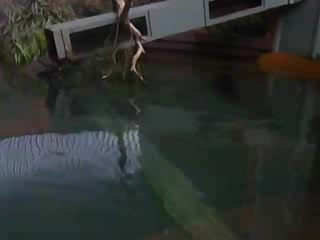 Port Sorell, ออสเตรเลีย: Video of Platypus Swimming - Platypus House