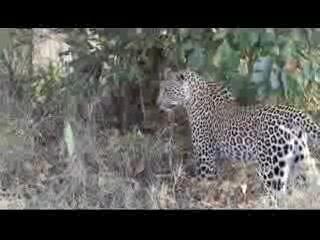 Inyati Private Game Reserve, แอฟริกาใต้: Leopard cub vs an African rock python.