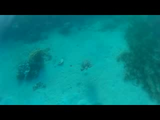 Nakhil Inn & Dream - Nuweiba: Sea Turtle at Nakhil Inn Nuweiba Aug 2015