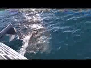 Seward, AK: Dall Porpoises