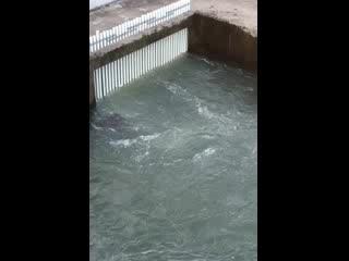 Hokkaido Tokachi Echology Park: 鮭の遡上