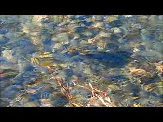 Chase, Canadá: Salmon Spawning Adam's River Oct. 20, 2015