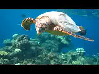 Swimming with Hawk Beak Turtle