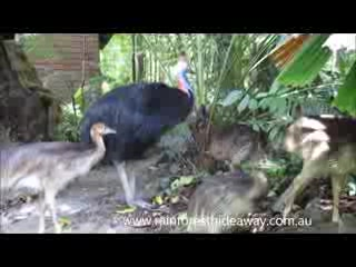 Cassowary family at Rainforest Hideaway in Cape Tribulation