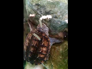Yonkers, Nova York: Snapping Turtle Feeding