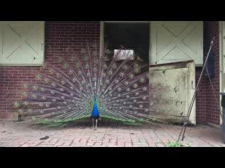 Hampstead, MD: Peacock Dancing