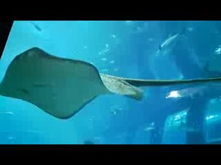 Close encounter of sting ray swimming towards u...