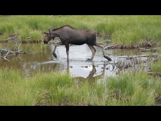 Anchorage, AK: Moose near Westchester Lagoon on Tony Knowles trail