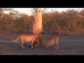 Nkorho Bush Lodge: Cheetah Brothers