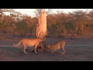 نكورهو بوش لودج: Cheetah Brothers