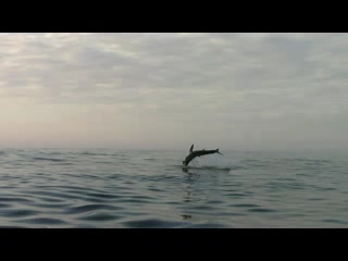Gansbaai, Sydafrika: #SharkBreaching