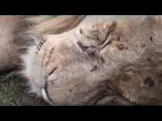 Pilanesberg National Park, Sydafrika: Lion on Safari in Pilanes National Park