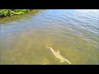 โฮโมซัสซา, ฟลอริด้า: Dolphinissimo - Airboat Tour