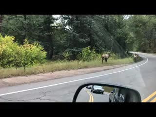 Elk Everywhere in Evergreen
