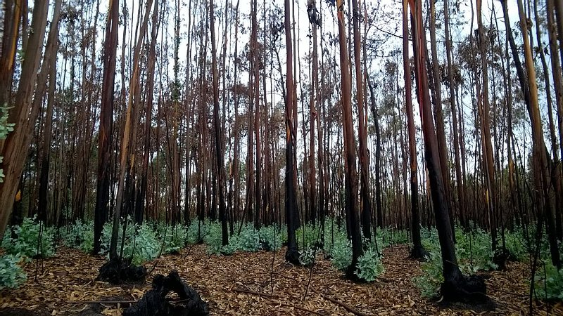 A Eucalyptus wood damaged by fire in the summer soon shows new growth