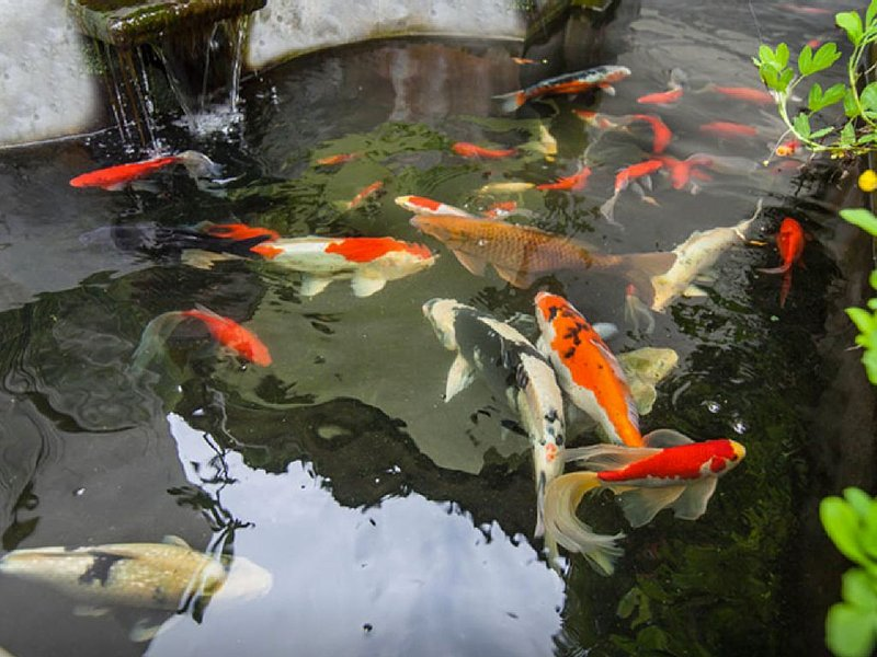 It was my dream to have a koi pond. The sound of the waterfall is soothing.