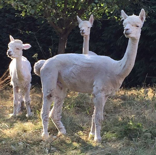 Bijou cottage in the heart of rural France, with alpacas in the garden., vacation rental in Saint-Dizier-Leyrenne