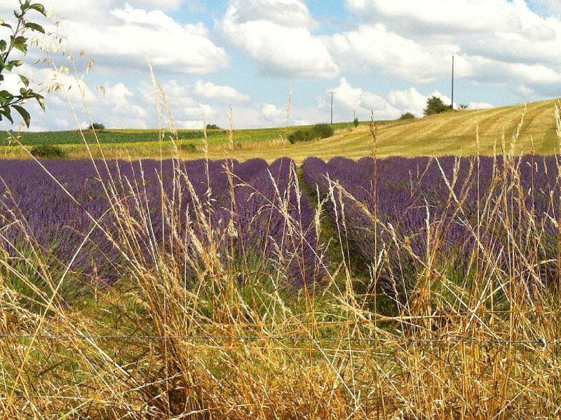 Local lavender field backing onto sunflowers