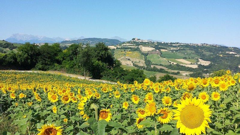 Sonnenblumenfeld in der Nähe