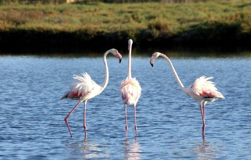 Flamands rose sur les étangs de Palavas