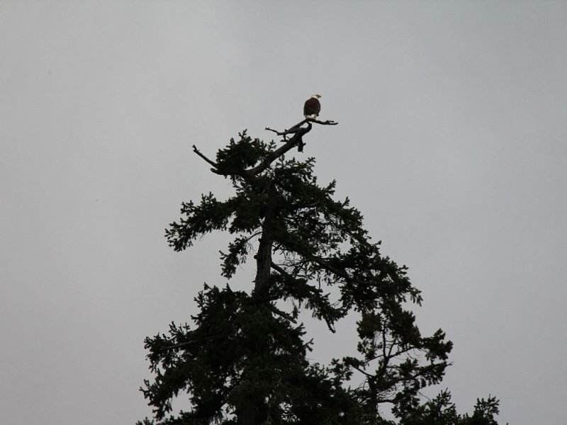 An eagle near it's nest 100 meters from the house checking out a seagull dinner.
